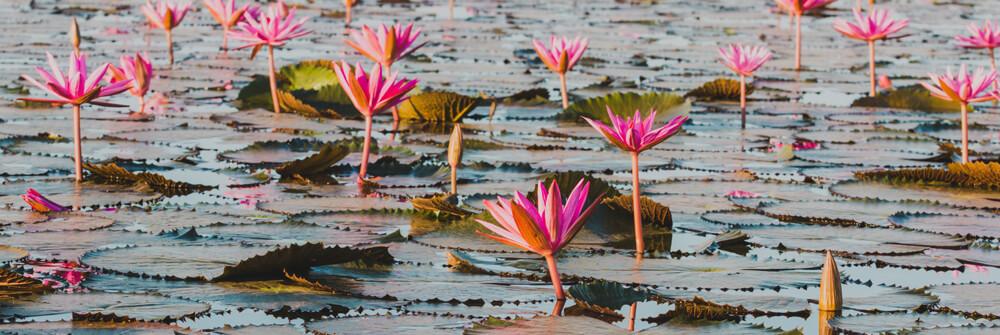 Fotobehang met Lotusbloemen